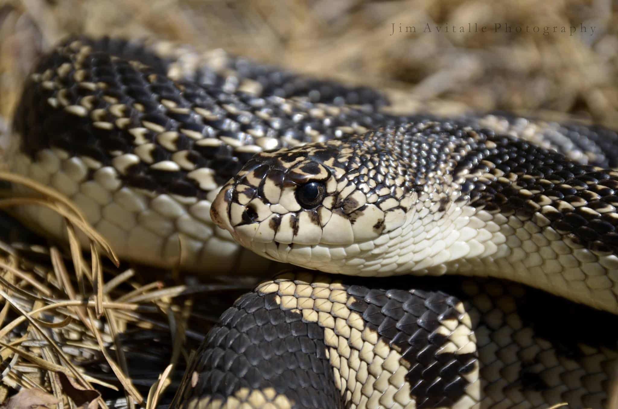 Remove term: Northern Pine Snake Northern Pine Snake